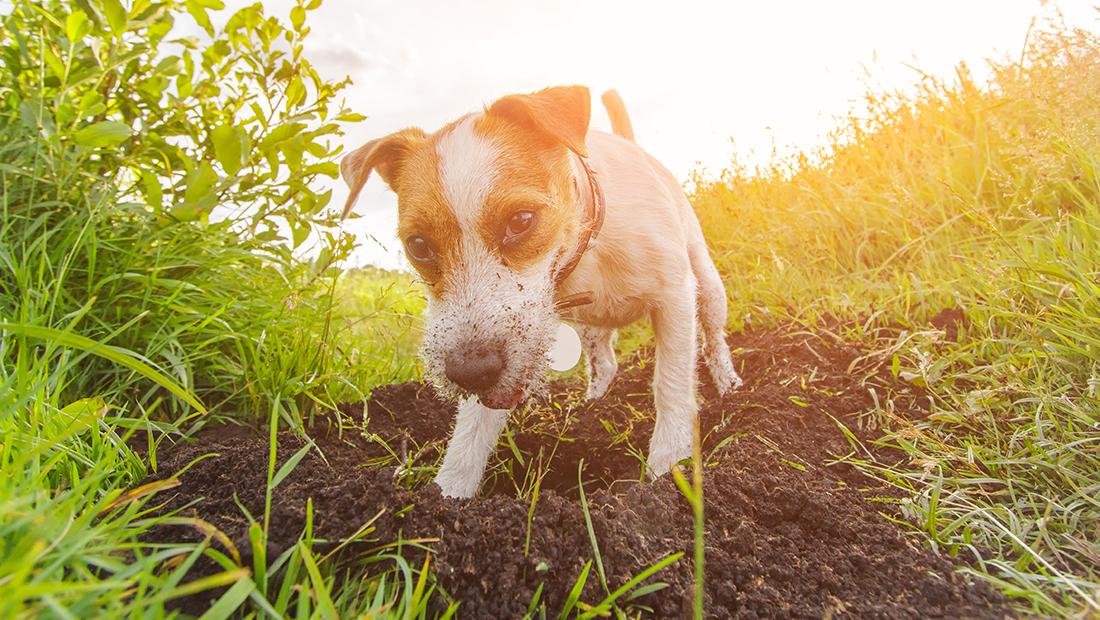 perro haciendo hoyo en el jardín