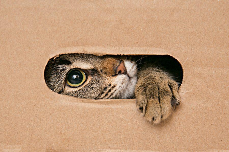 gato jugando con caja de cartón