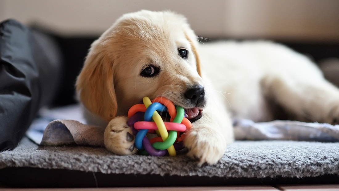 cachorro mordiendo juguete