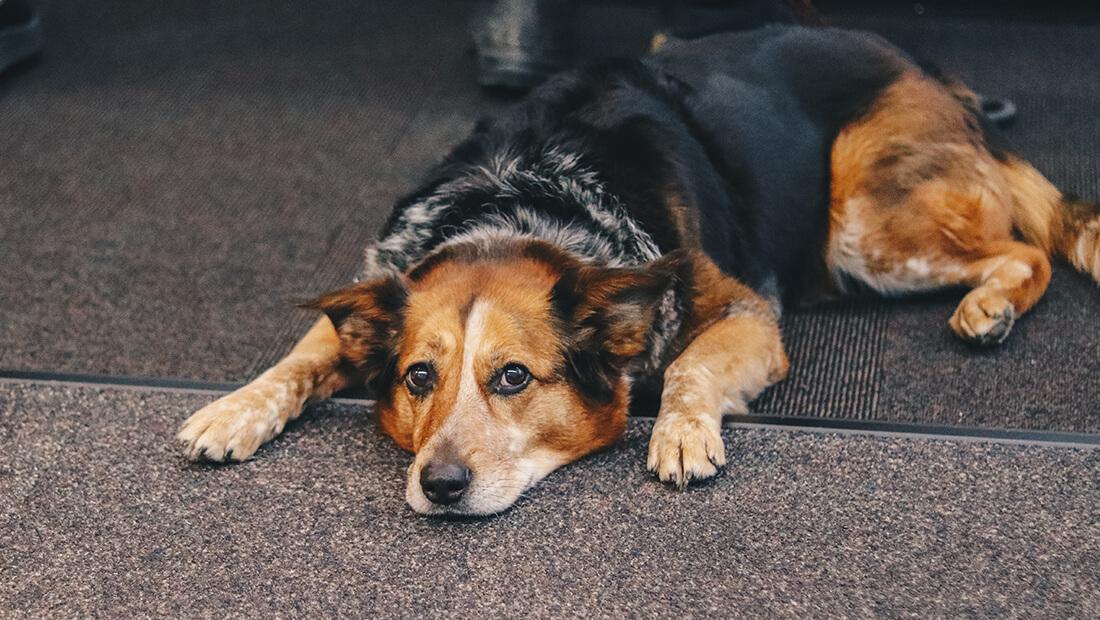 perro acostado en el piso