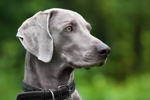perro gris en un parque