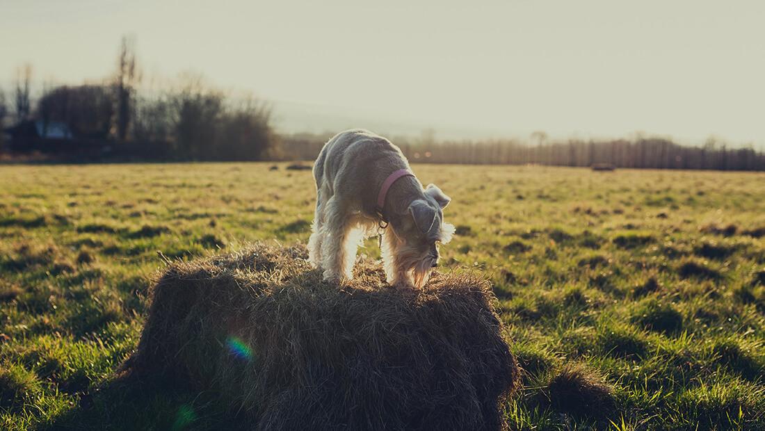 perro schnauzer en un parque