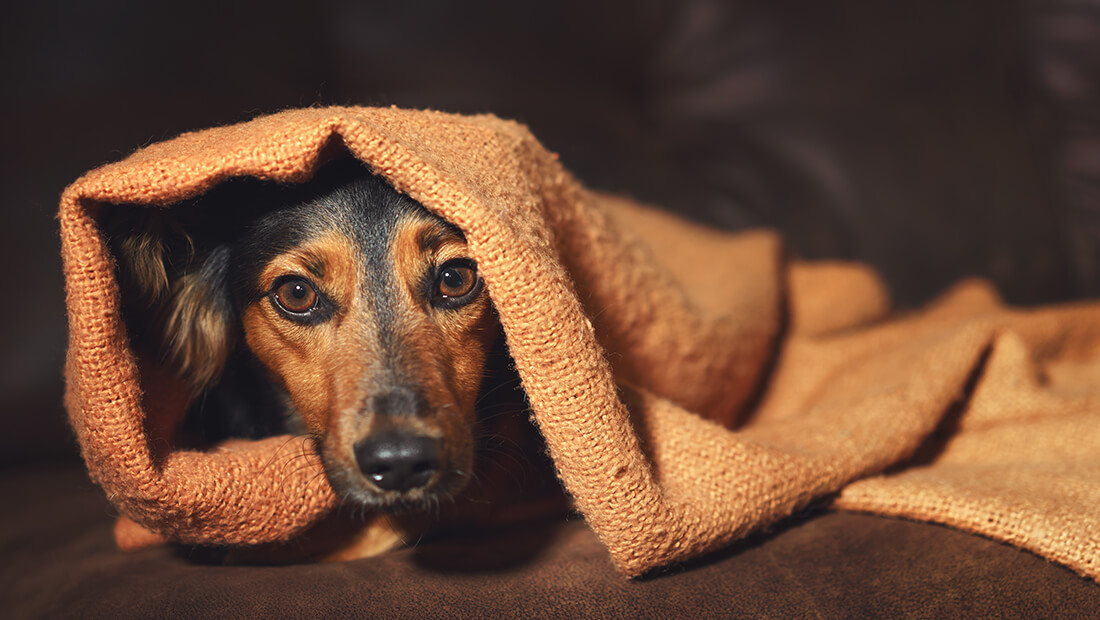 perro tapado con cobija