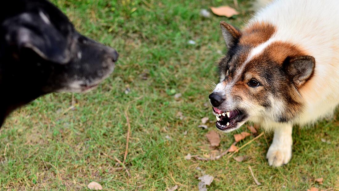 perros gruñendo