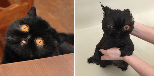 gato negro bañándose