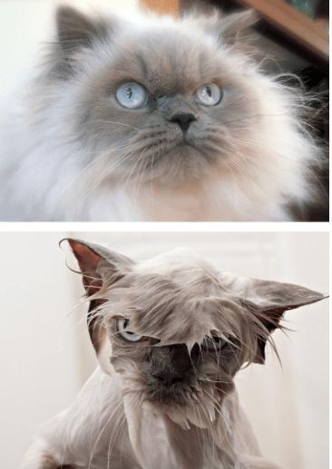 gato seco, gato mojado