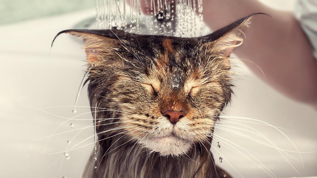 gato bañándose