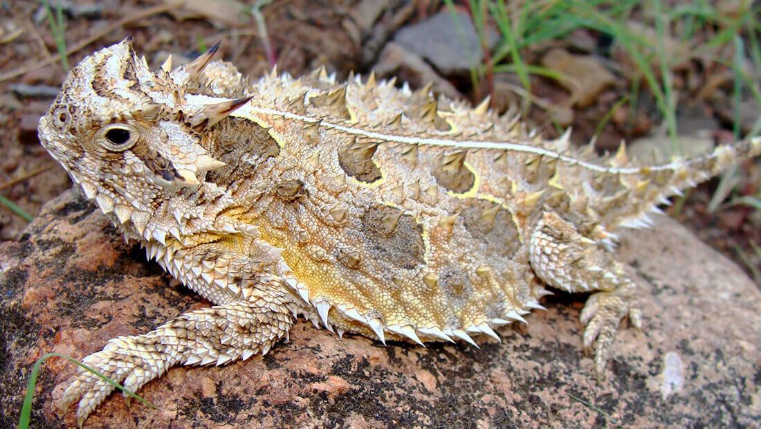 lagarto cornudo