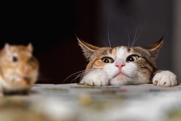 gato viendo a un ratón