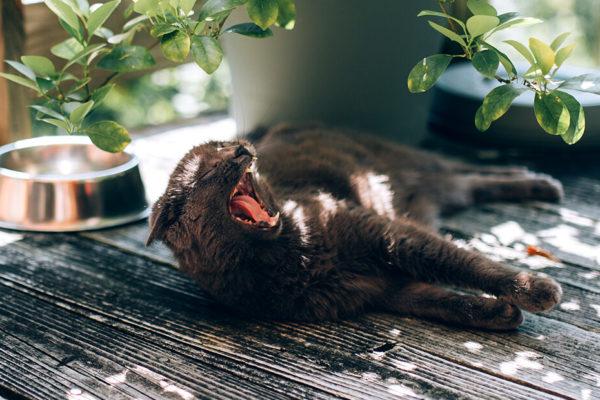 gato acostado bostezando
