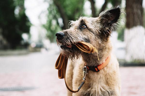 perro sosteniendo correa en la boca