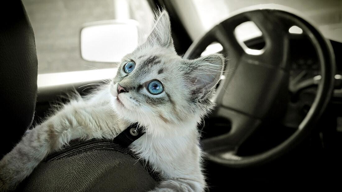 gato en el auto