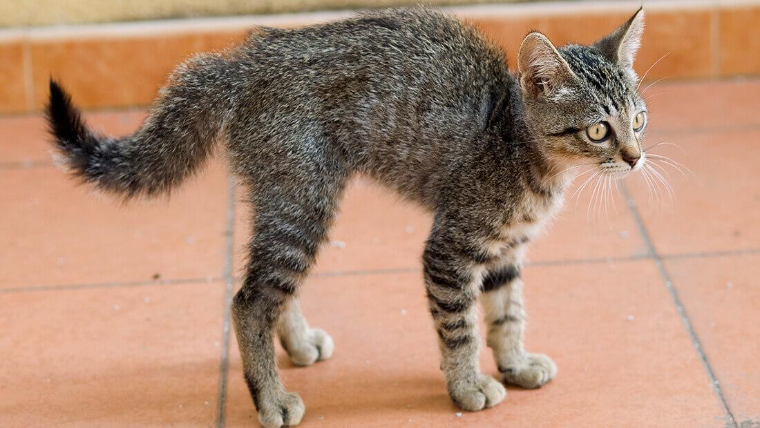 gato arqueando la espalda
