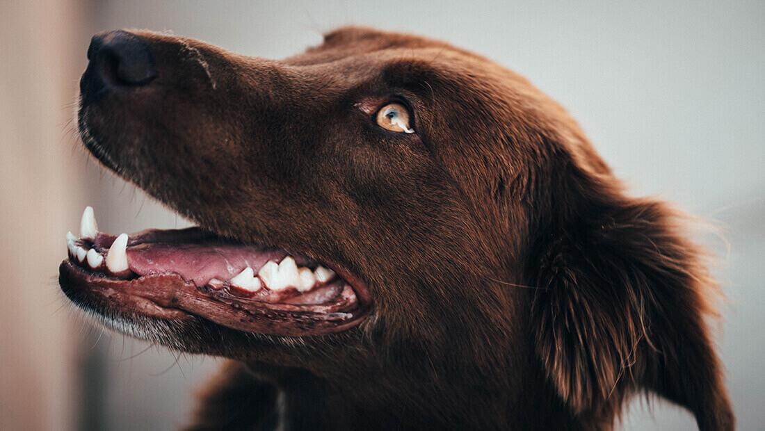 perro con dientes limpios