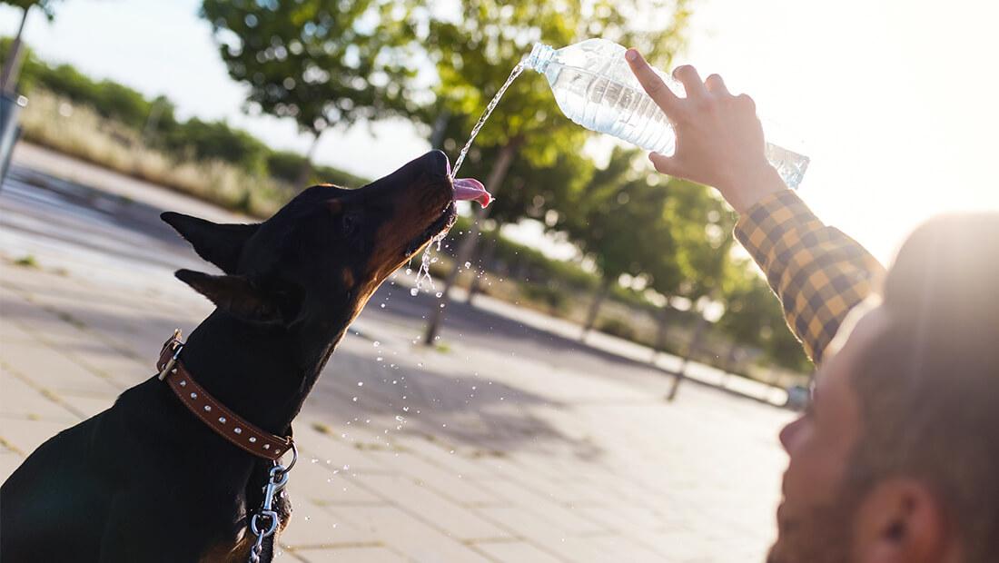 doberman tomando agua