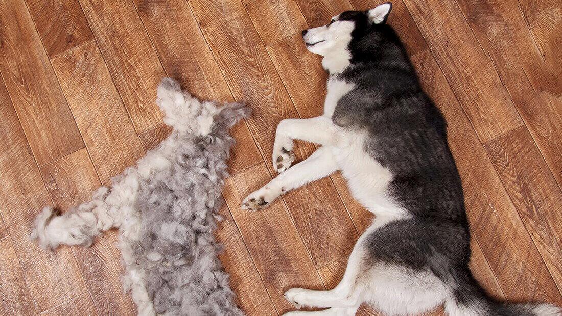 husky acostado con su pelo