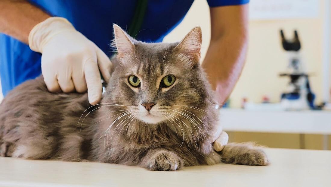 gato con el veterinario