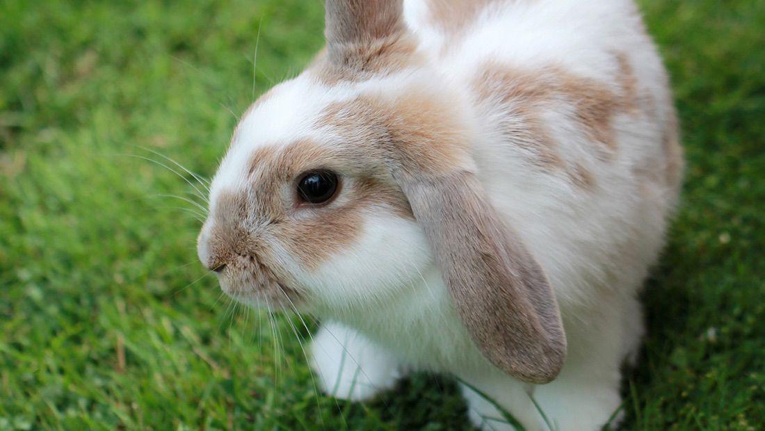 conejo minilop en el pasto