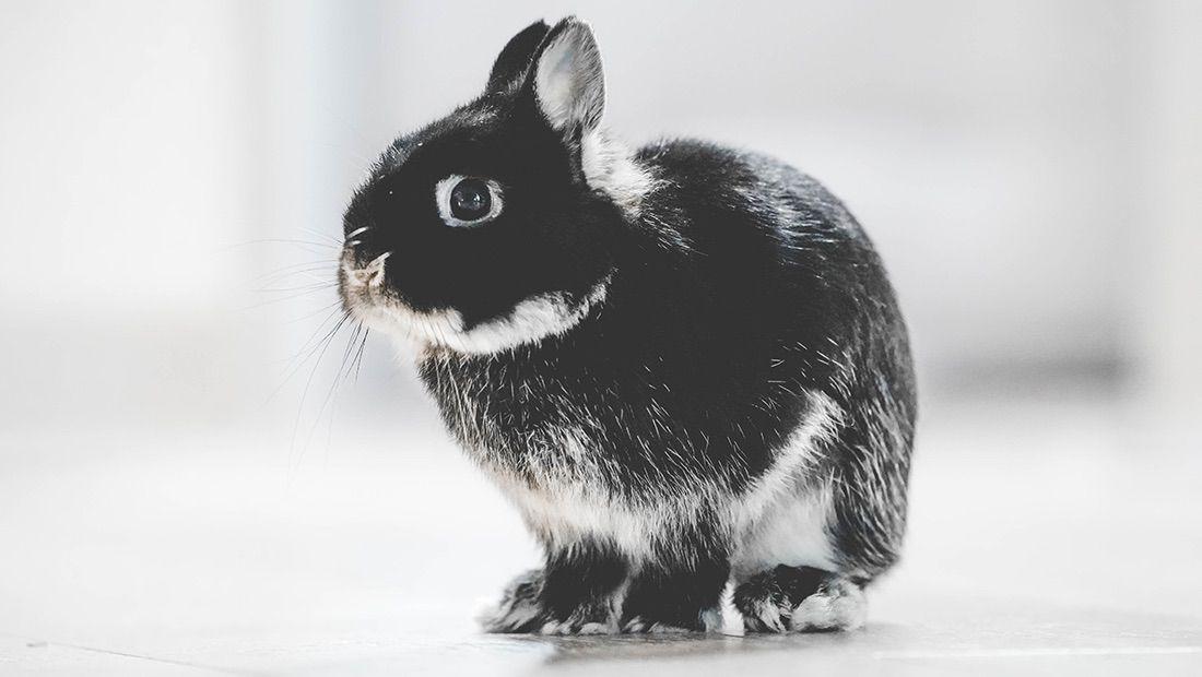 conejo Polish