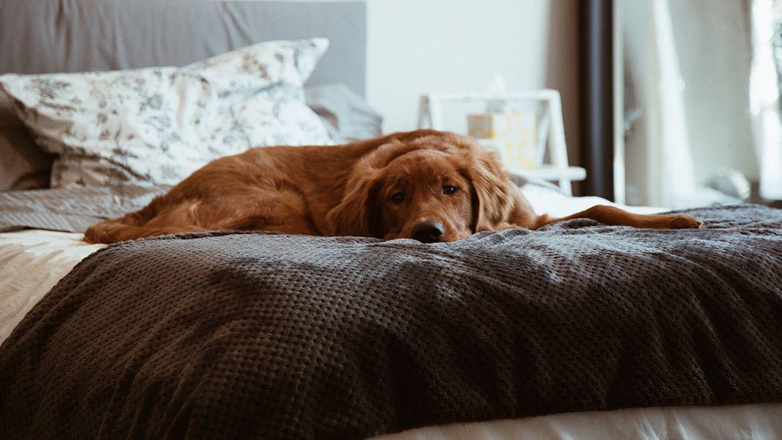 perro acostado en la cama
