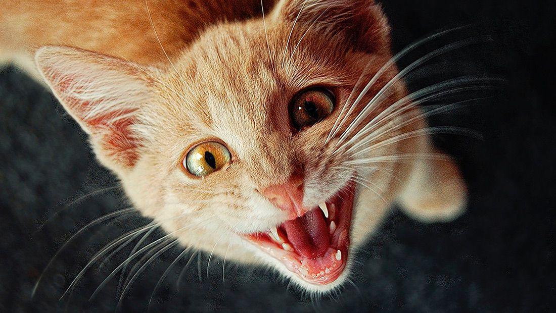 dientes de gato