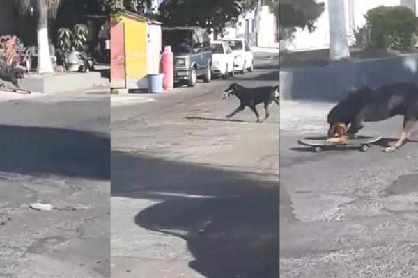 Rottweiler en la patineta