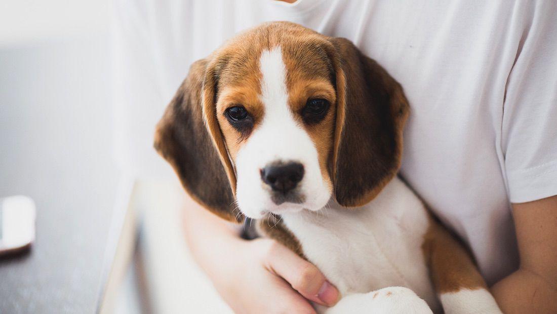 beagle bebé