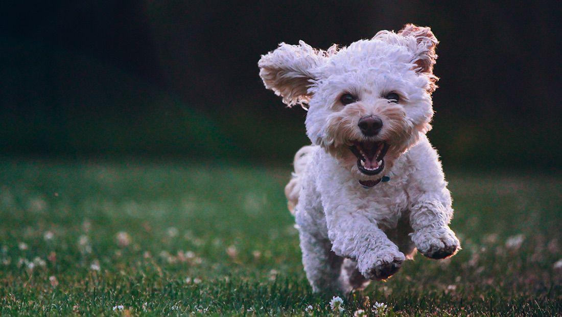 perro chiquito corriendo