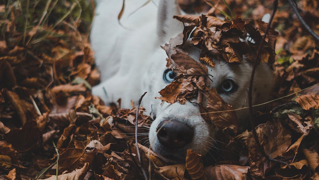 perro jugando con hojas