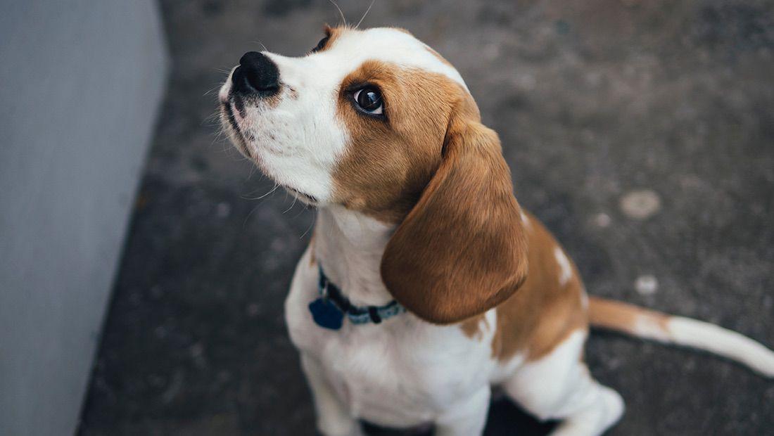 cachorro mirando a su dueño