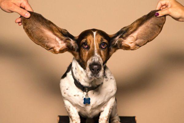 orejas de un basset hound
