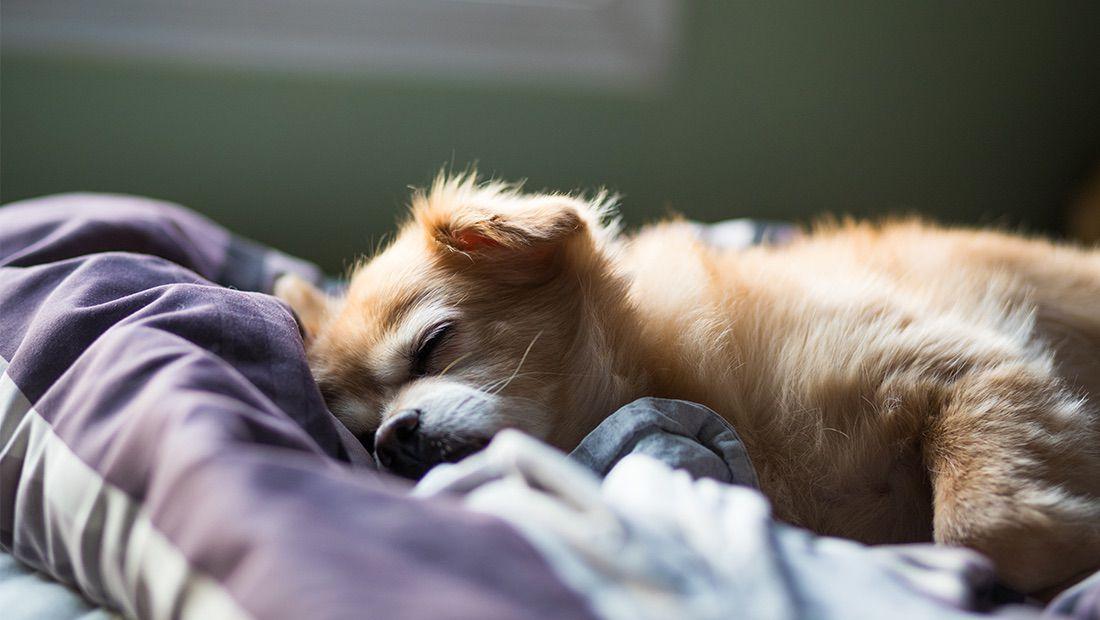 sueño de los perros