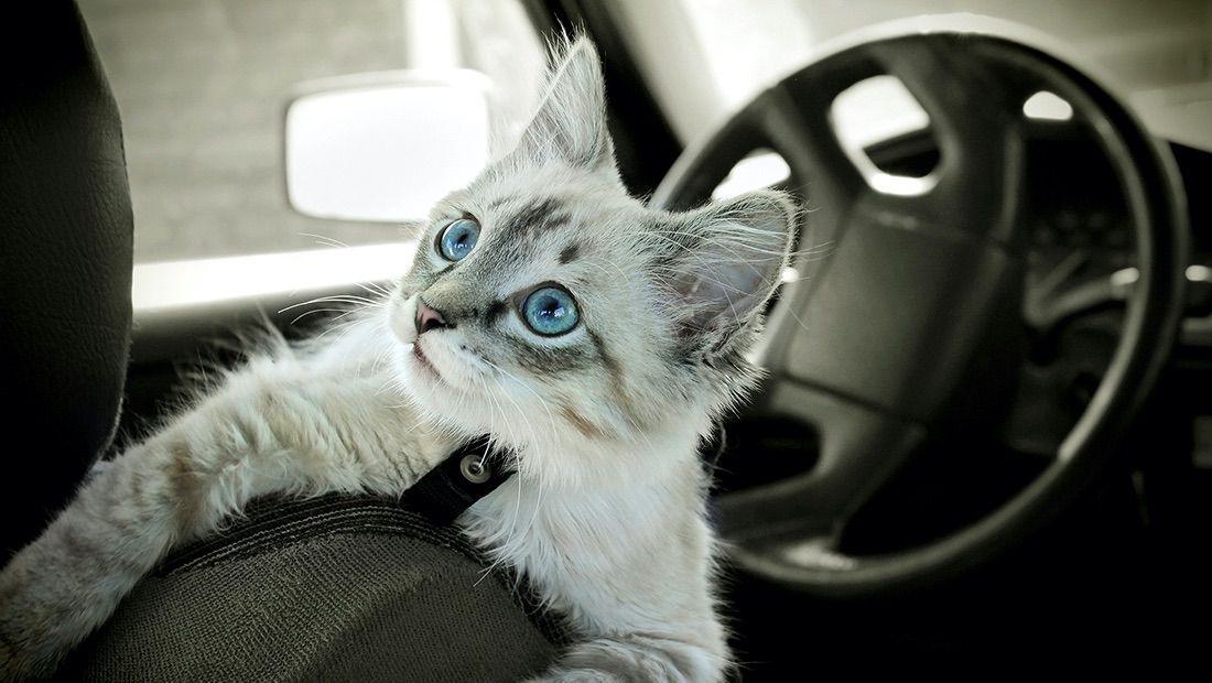 gato viajando en un auto
