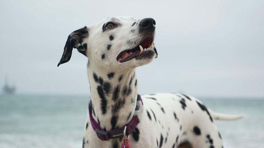 dálmata perro