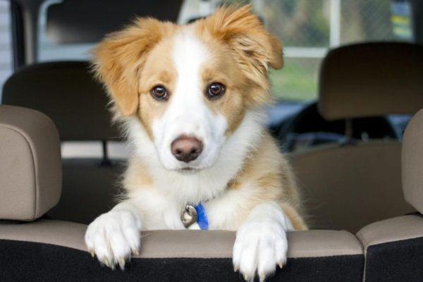 perro viajando en auto