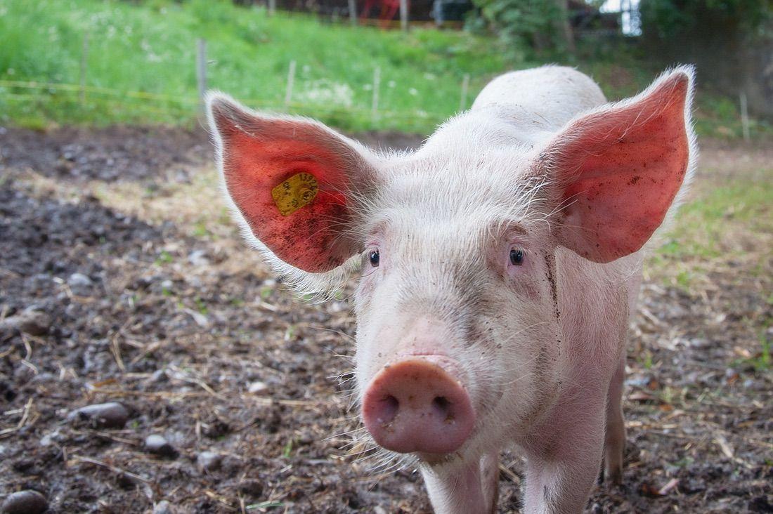 cerdo en el jardín