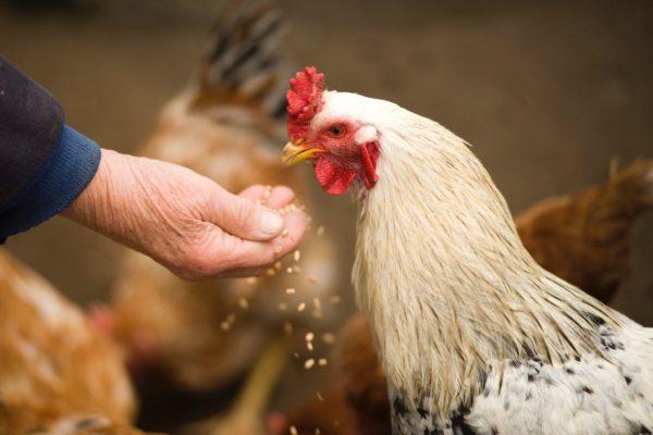 gallo comiendo