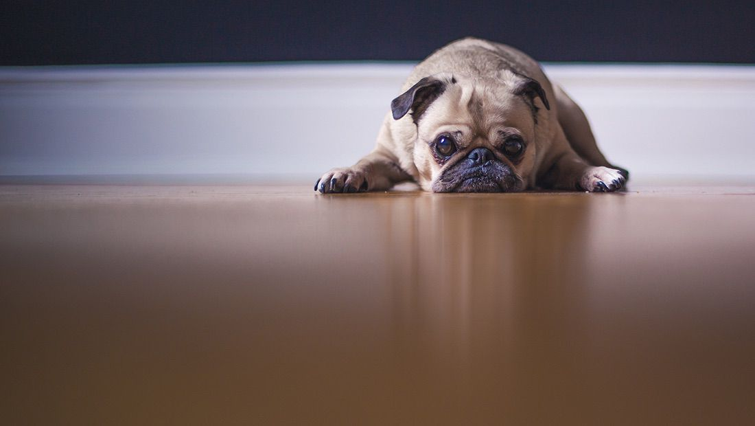 perro con síndrome de down