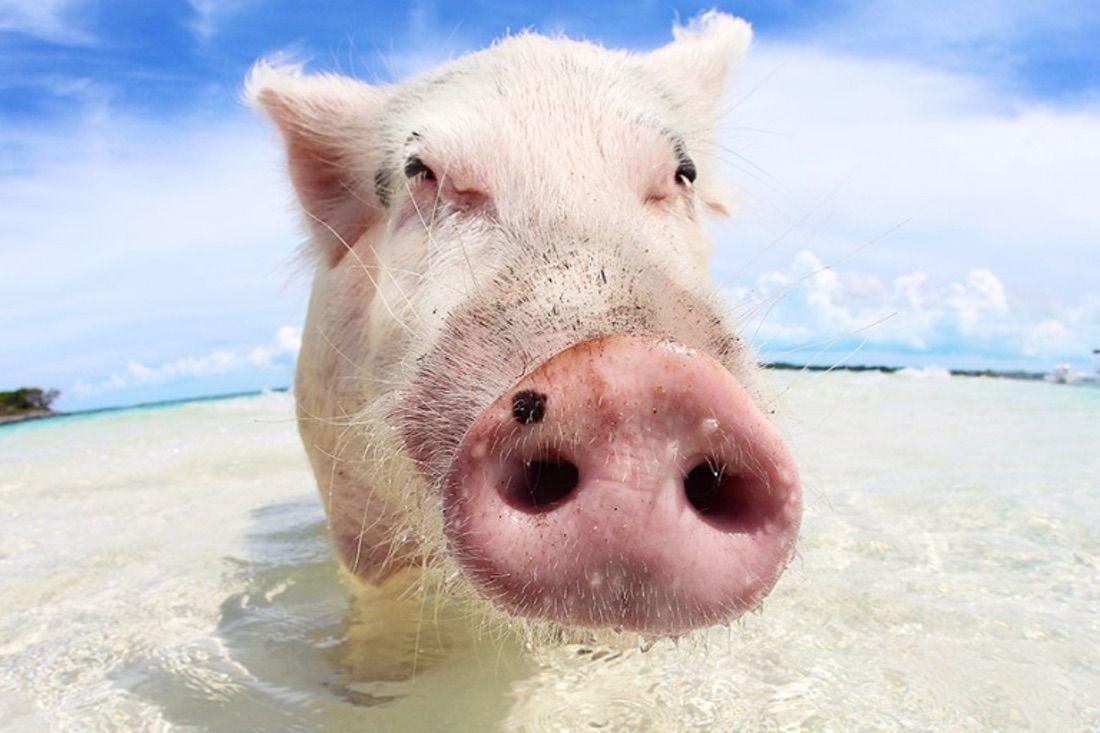 isla de cerdos