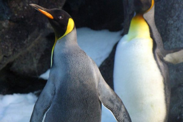 video de pingüino
