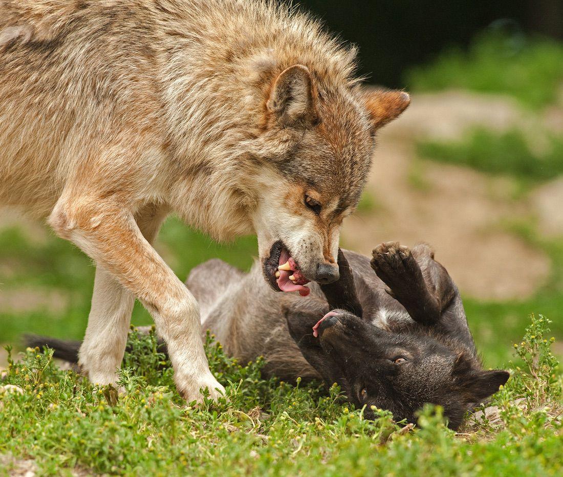 lobo con perro