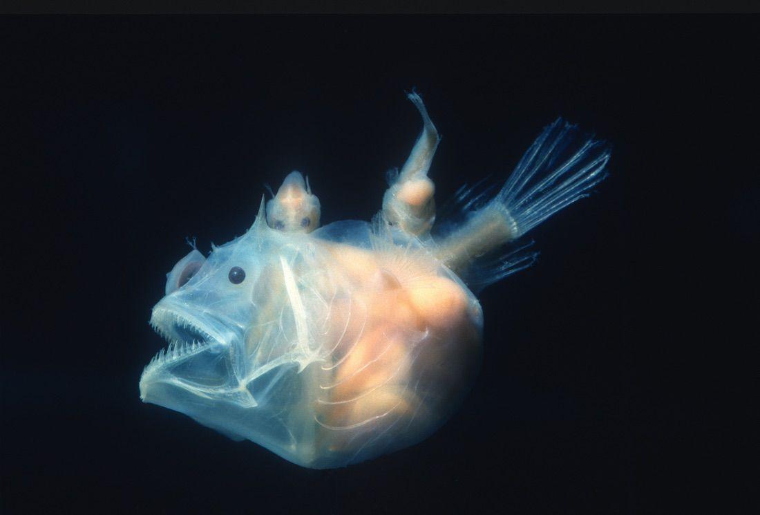 pez diablo