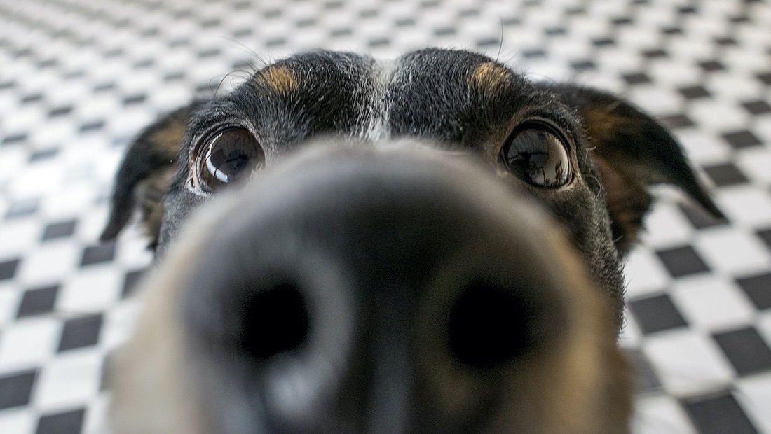olfato de perro