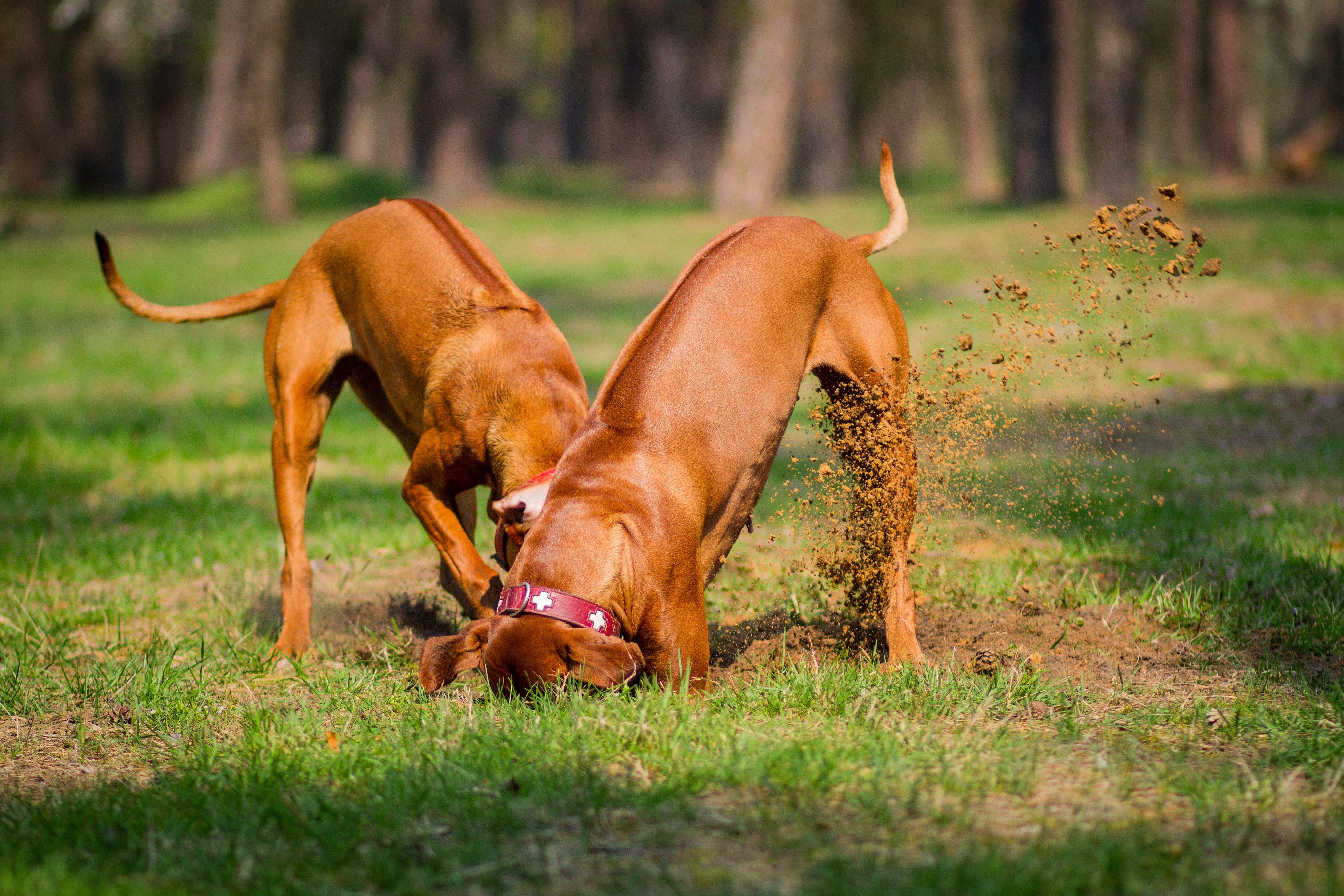 perro haciendo hoyo