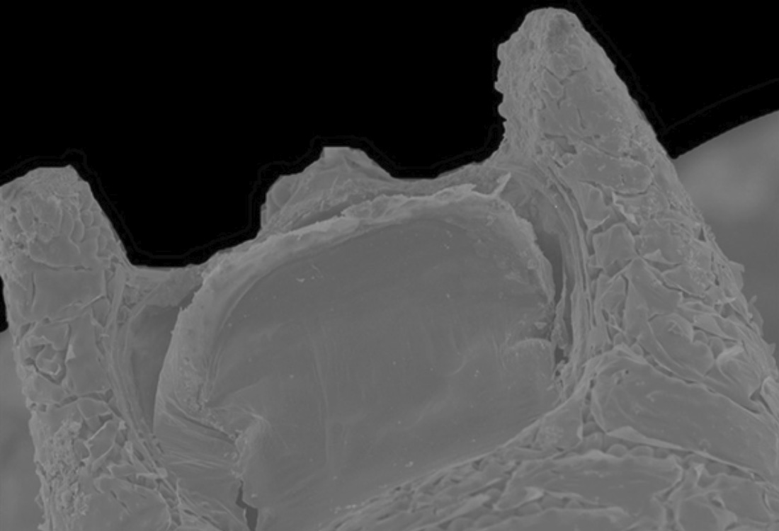 5 Animales marinos impresionantes biconcavus batmani