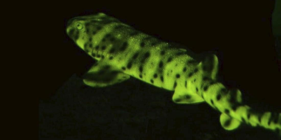 5 Animales marinos impresionantes etmopterus lailae
