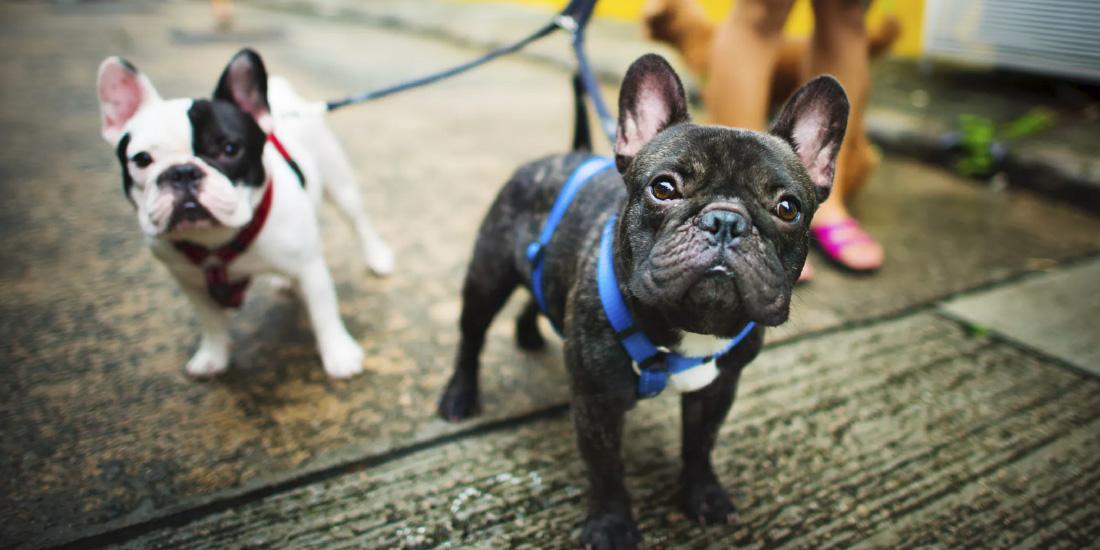 Carrera para perros en adopción