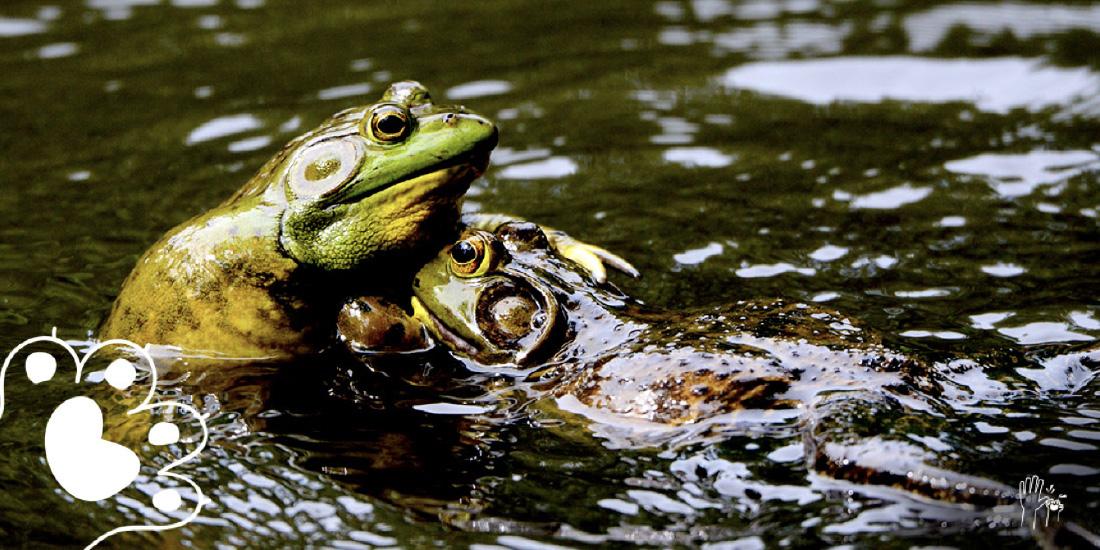 boda entre ranas