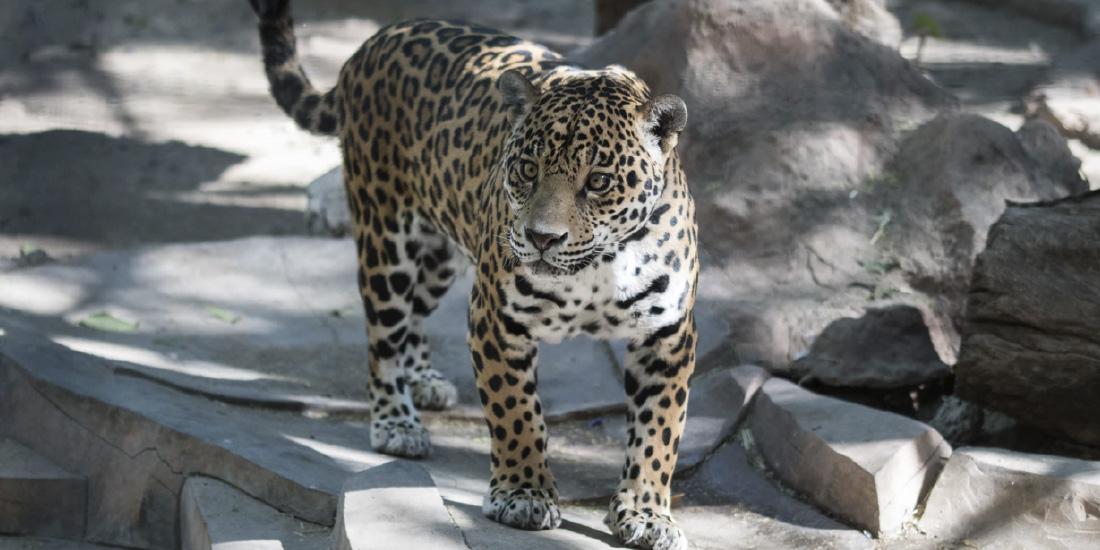 Nadaremos cual jaguar