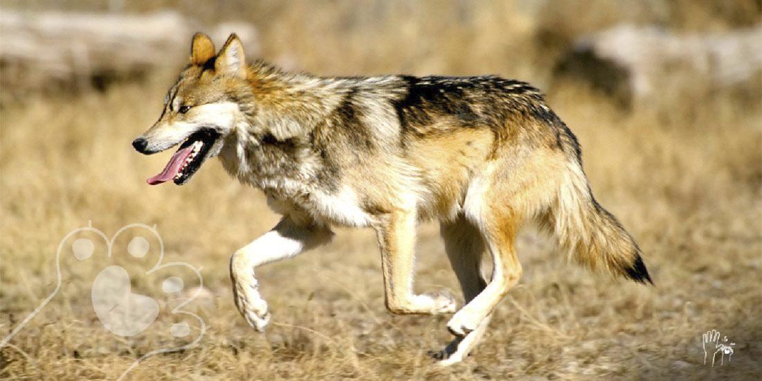 muere lobo mexicano